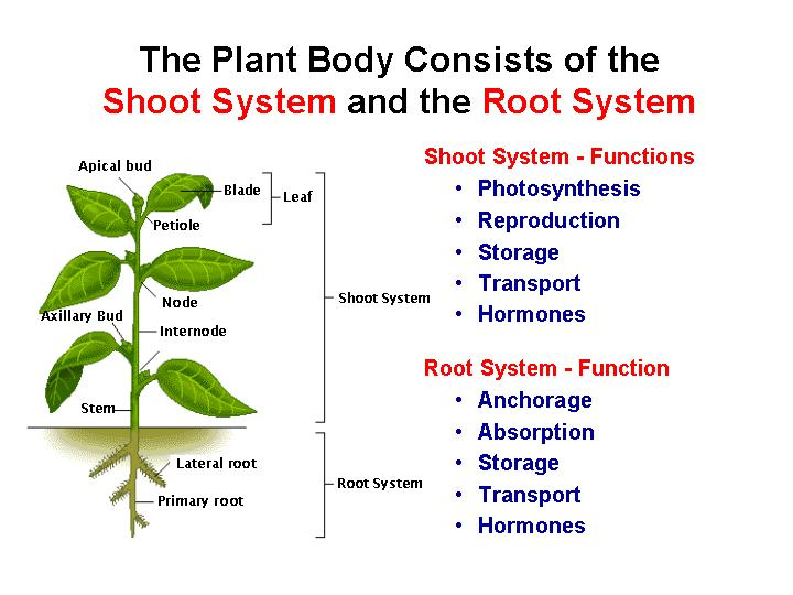 PLANTS: Anatomy, Growth and Functions - WEEK 1 and 2